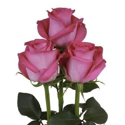 100 Hot Pink Roses