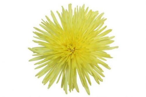 yellow spider mum flower