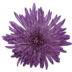 purple spider mum flower