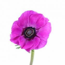 purple anemome