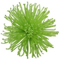 green spider mum flower