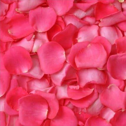 293815380 - Hot Pink Fuchsia Rose Petals in Wholesale Bulk