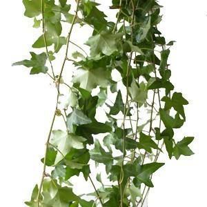 293815648 - Green Ivy Foliage