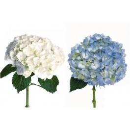 293815772 - White and Blue Hydrangea 30 stems Wholesale Flowers