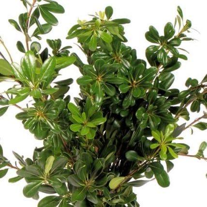 green pittosporum foliage j r roses wholesale flowers