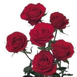 red spray roses