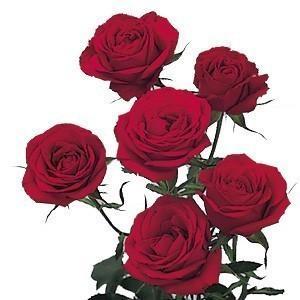 red spray roses