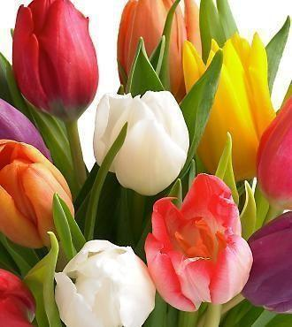 293816800 - Assorted Tulip Wholesale Flowers