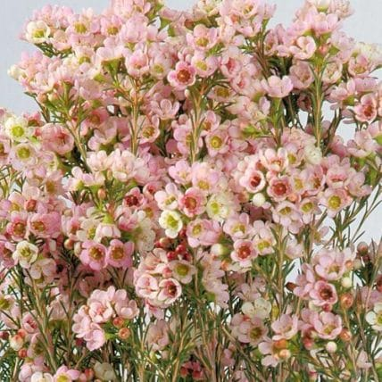 Pink wax flower wholesale wedding flowers bulk flowers j r roses home pink flowers mightylinksfo
