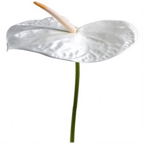 294457791 - White Anthurium Flower