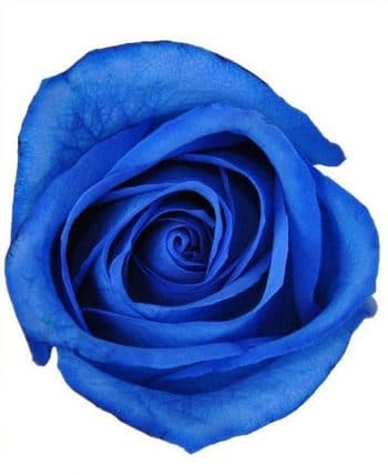294757148 - Blue Tinted Roses