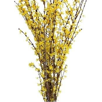 373058167 - Forsythia Yellow Flowering Branches