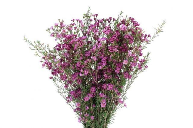 Purple wax flower wholesale flowers bulk flowers j r roses home wax flower mightylinksfo