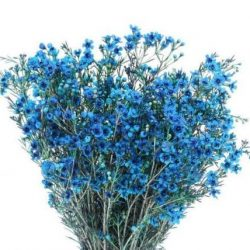 blue wax flower