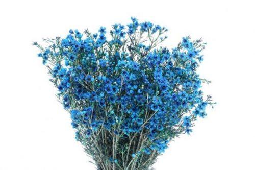 blue wax flower