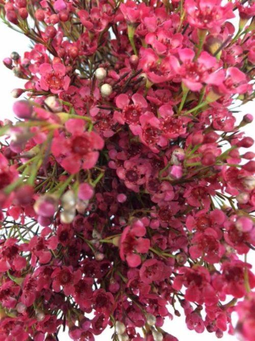 red wax flower