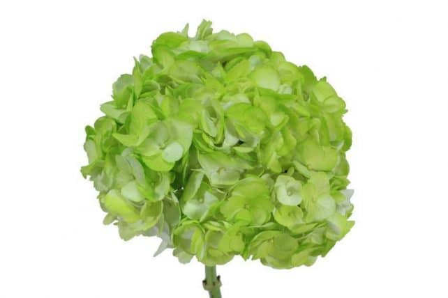 429739783 - Hydrangea Tinted Lime Green Wholesale Flowers (30 stems)