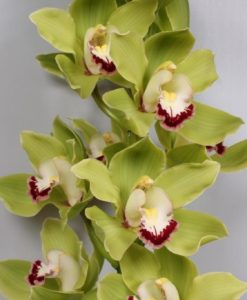 487429531 247x300 - Green Cymbidium Orchid Fresh Bulk Flowers