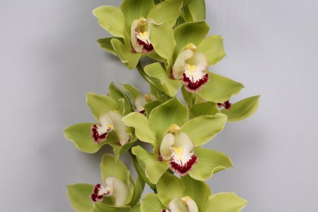 487429531 - Green Cymbidium Orchid Fresh Bulk Flowers