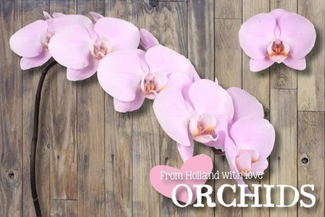Light Pink Phalaenopsis Butterfly Orchids