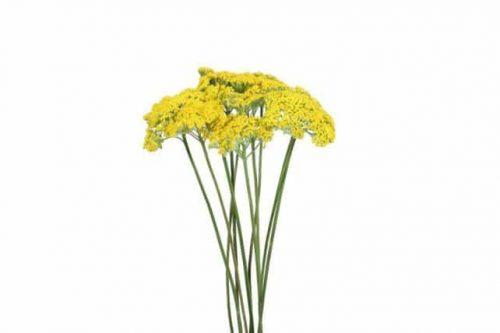 yellow Yarrow