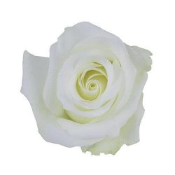 White-Akito-Rose