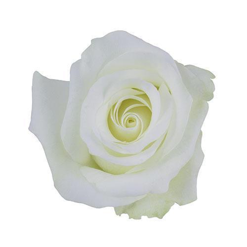 White-Akito-Rose