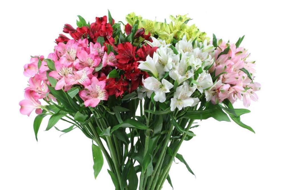 Alstromeria Flowers