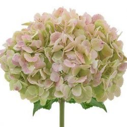 Antique-Green-hydrangea