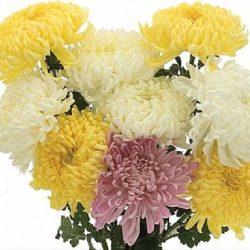 Assorted Chrysanthemum Cremon