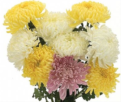 Assorted Chrysanthemum Cremon