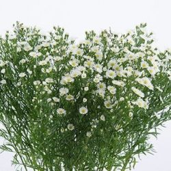Aster-White-bunch