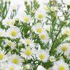 Aster-White-flower