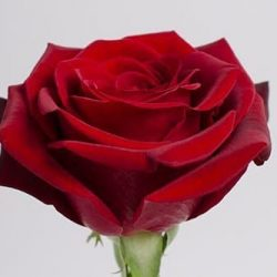 dark-red rose