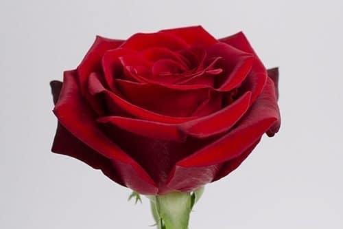 dark-red rose