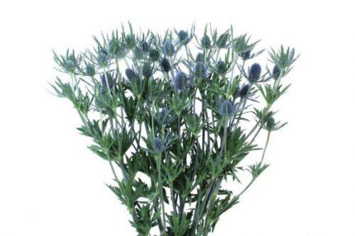 Blue Eryngium Thistle