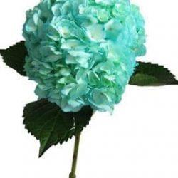 Blue Turquoise Hydrangea flower