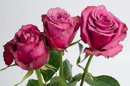 Blueberry-3-roses
