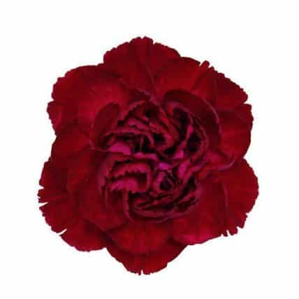 Burgundy-Carnation