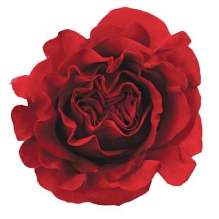 Burgundy Garden Roses