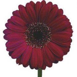 burgundy gerbera daisy