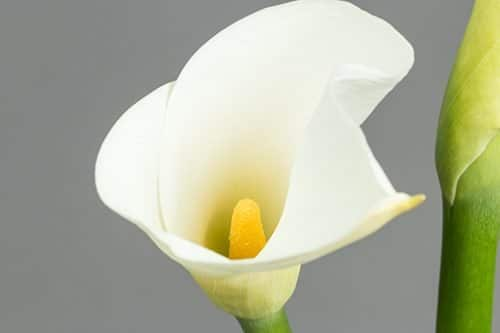 Calla-Lilly-White-flowers