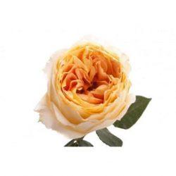 Caramel Garden Rose