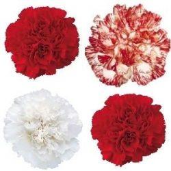 Christmas-Carnation