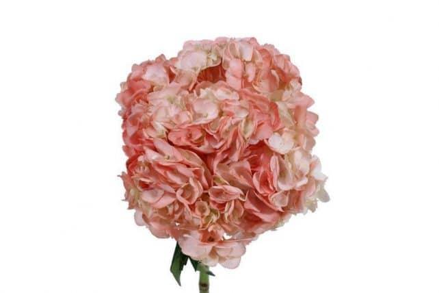 Coral Hydrangea flower