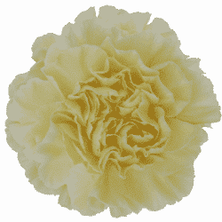 Cream-carnation