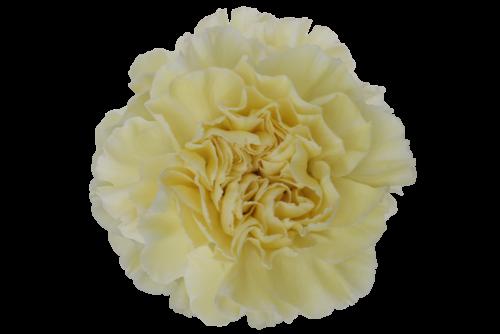 cream carnation flower