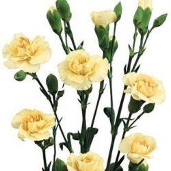 Cream-Miniature-Carnation-Spray