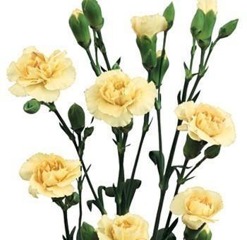 cream mini carnations
