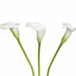 Crystal-White-calla-lily